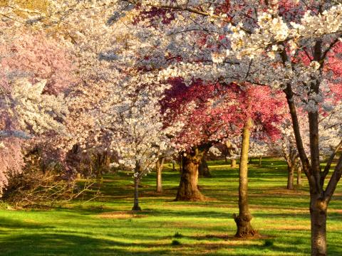 Blossoms in full bloom at the Cherry Blossom Festival in Branch Brook Park